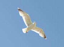 seagull[1]