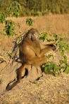 A baboon. I didn't feel right about choosing a photo of the infamous backside.